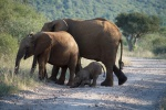 Baby Elephant Fall