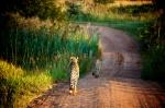 Cheetah at Entabeni
