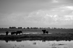 Elephants in Chobe National Park (b/w)