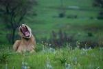 Lioness Yawning