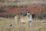Lioness at Entabeni