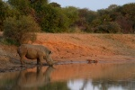 Rhino Reflection